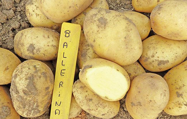 Potato variety trials